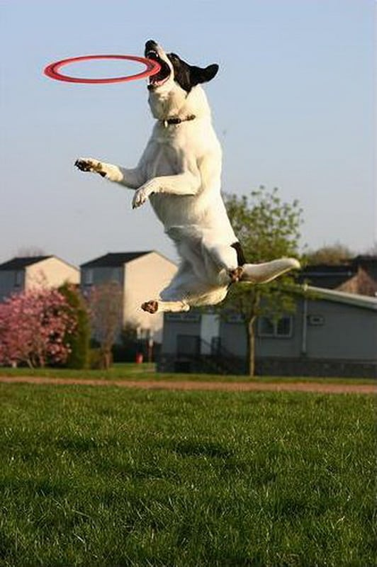 2terrier-jumpingjpg_1.jpeg
