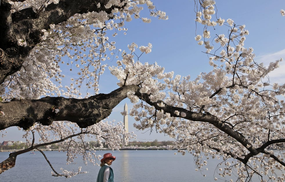 cherry f National Cherry Blossom Festival celebrates 100 years