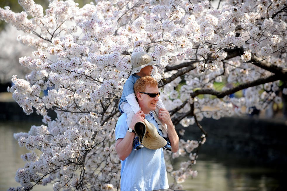 cherry p National Cherry Blossom Festival celebrates 100 years