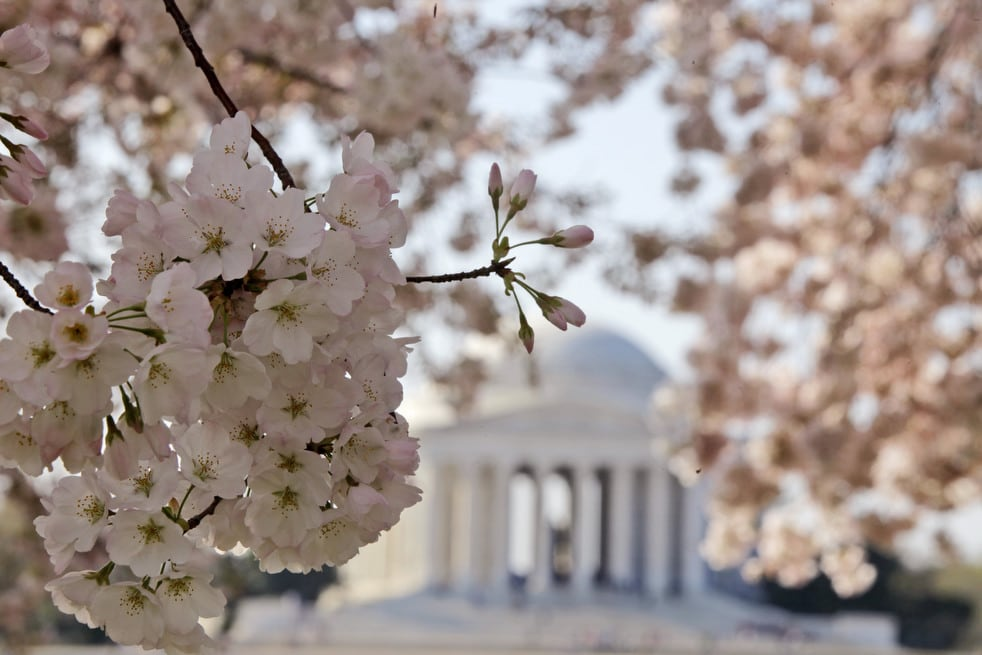 cherry j National Cherry Blossom Festival celebrates 100 years