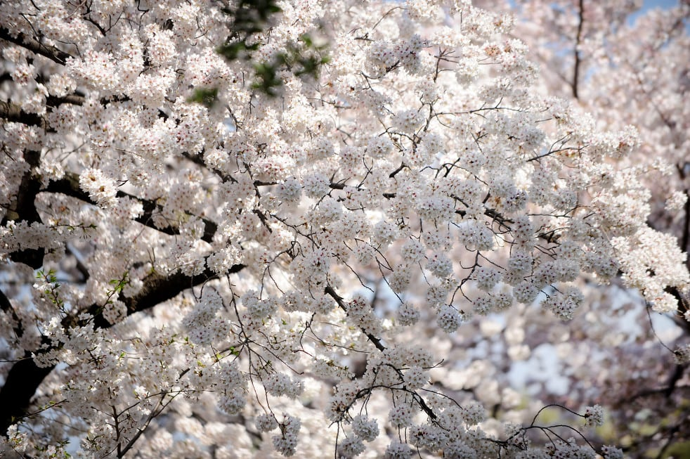 cherry n National Cherry Blossom Festival celebrates 100 years