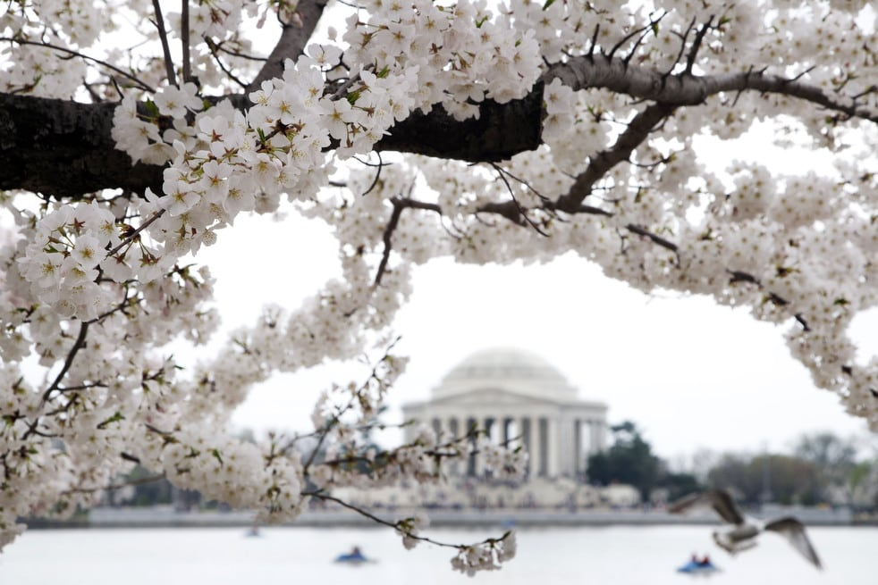 cherry k National Cherry Blossom Festival celebrates 100 years