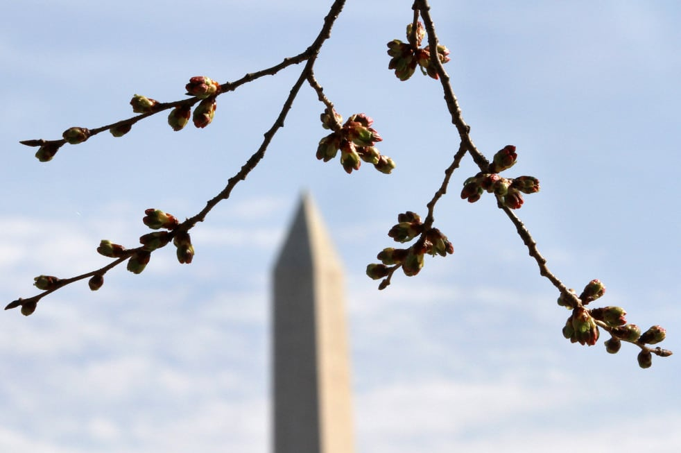 cherry l National Cherry Blossom Festival celebrates 100 years