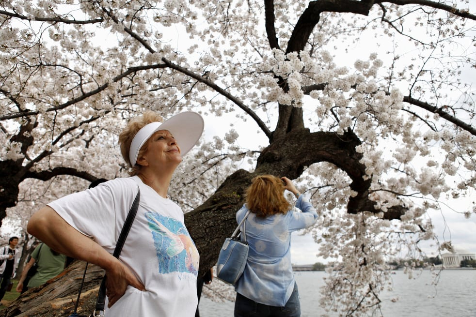 cherry h National Cherry Blossom Festival celebrates 100 years