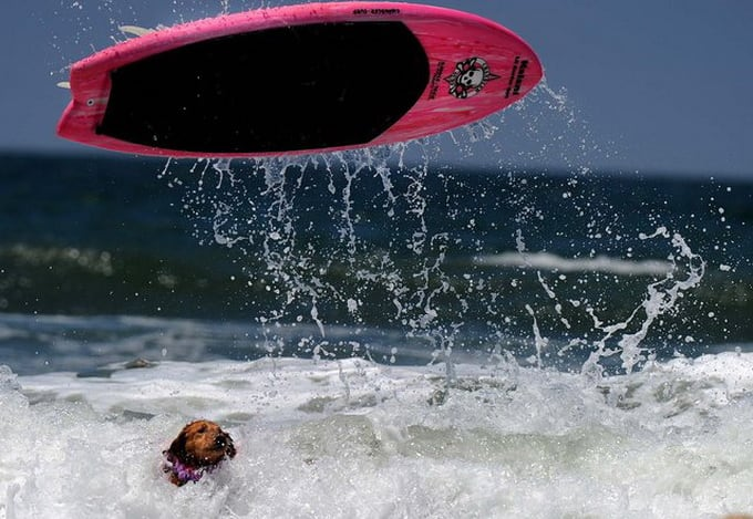 Loews Coronado Bay Resort Surf Dog Competition -surfing, dogs