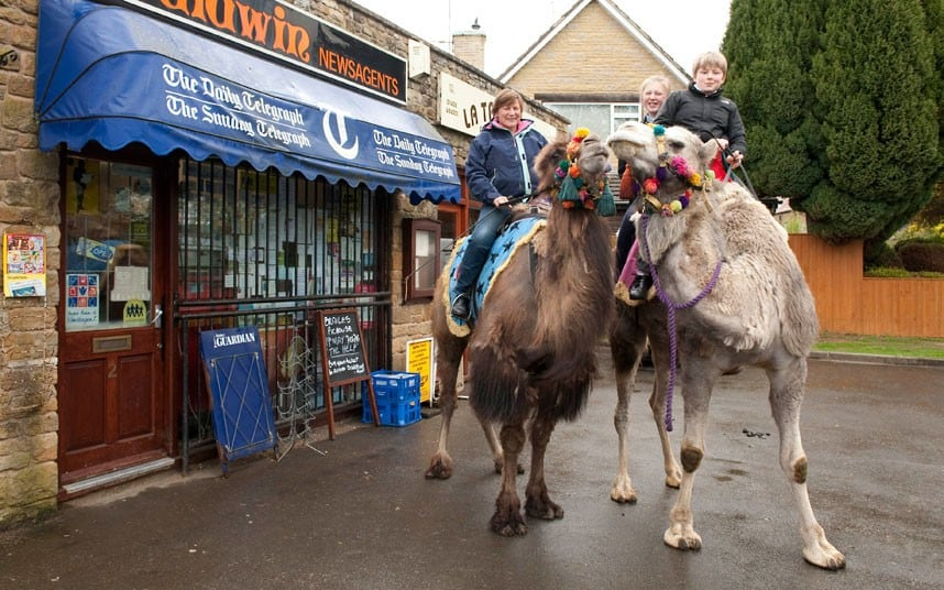 2290 the Fossetts raise herd of six pet camels in Warwickshire