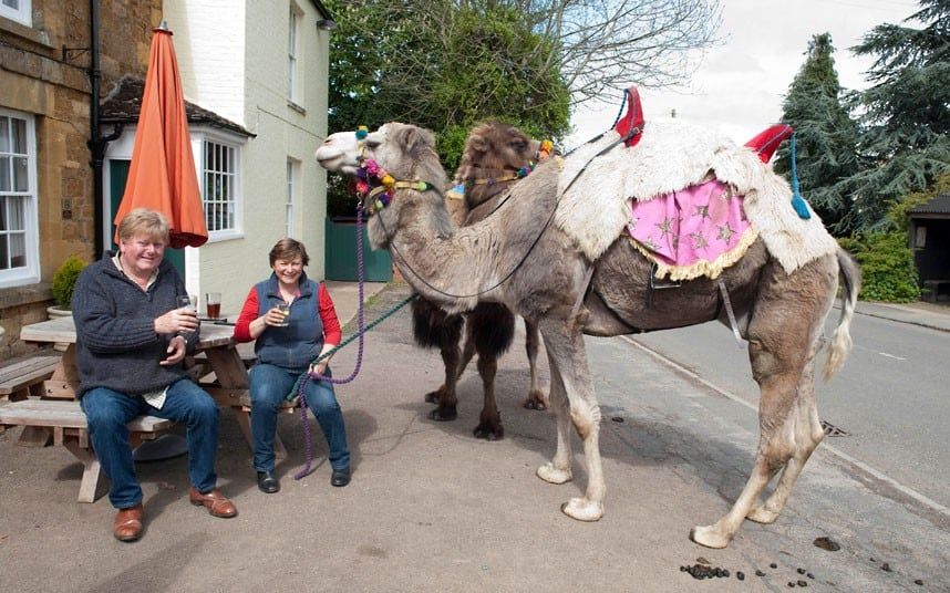 4164 the Fossetts raise herd of six pet camels in Warwickshire