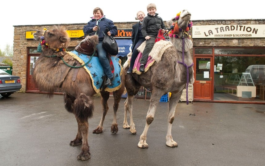 8116 the Fossetts raise herd of six pet camels in Warwickshire
