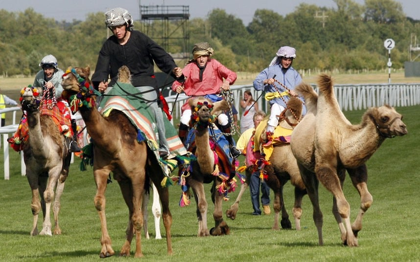 10114 the Fossetts raise herd of six pet camels in Warwickshire