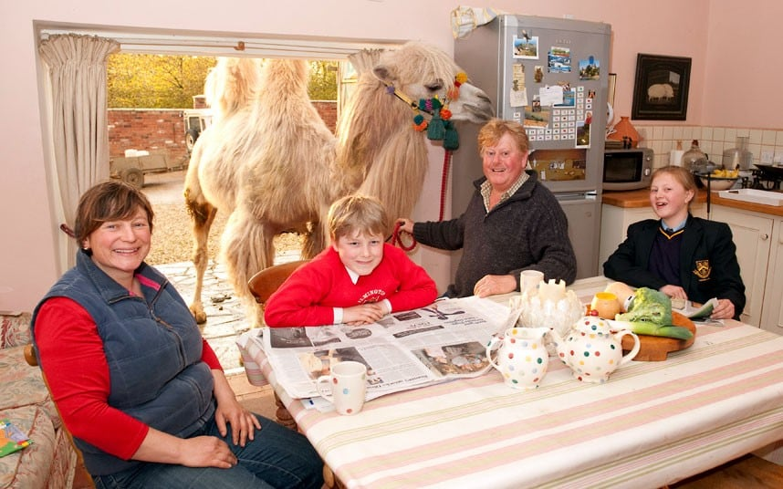 1406 the Fossetts raise herd of six pet camels in Warwickshire