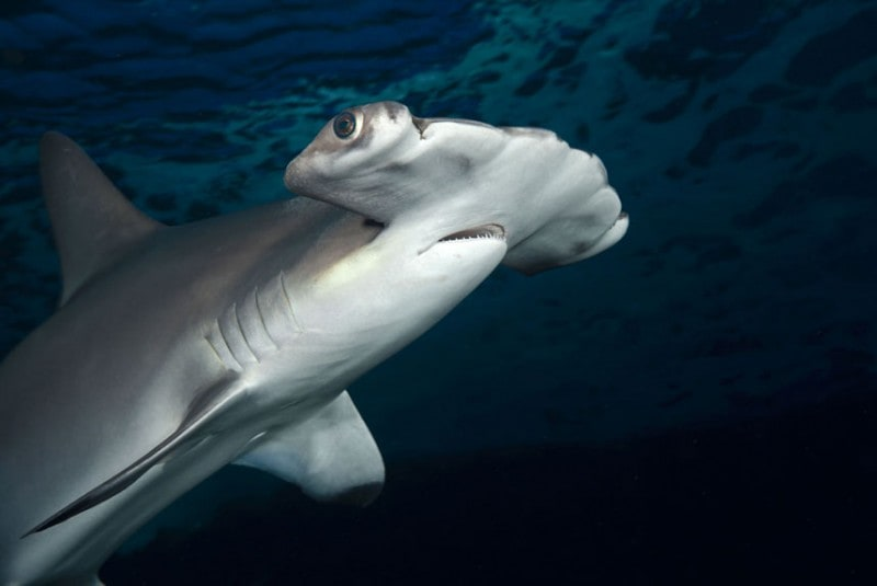 A Scalloped Hammerhead Shark (Sphyrna lewini), Hawaii. (David Fleetham/Bluegreen / Rex Features)