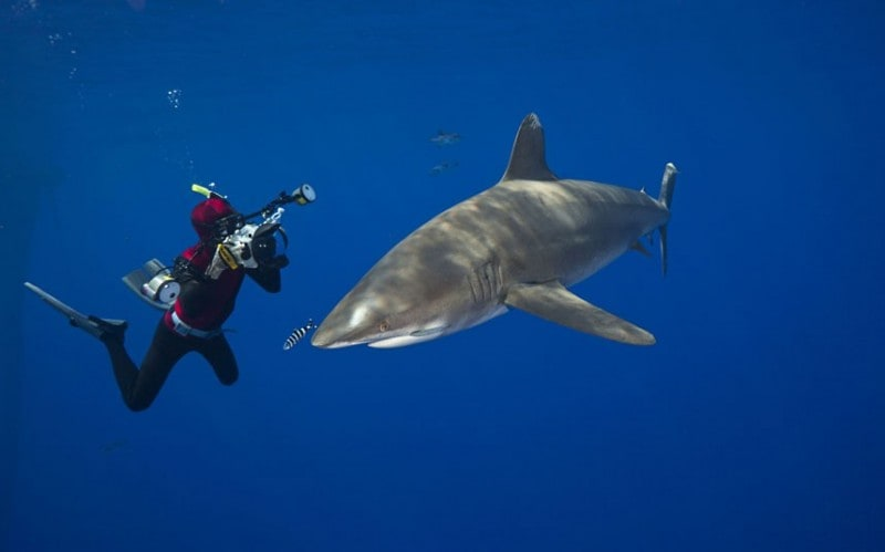 Doug Perrine photographs an oceanic White Tip Shark (Carcharhinus longimanus) off the coast of the Big Island, Hawaii (Picture: David Fleetham/Bluegreen / Rex Features)