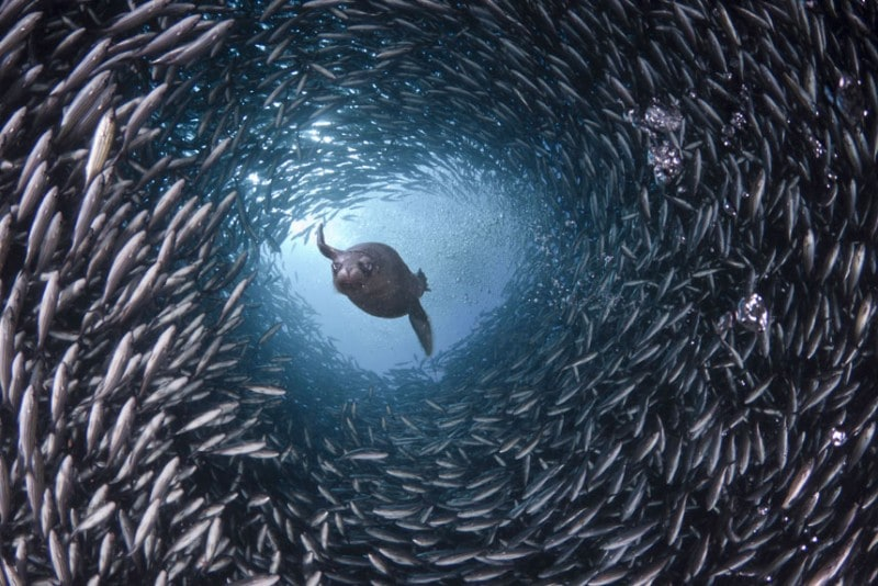 In the waters around the Galapagos Islands a hungry sea lion appears to swim through a tunnel of fish as it searches for its supper. David Fleetham's underwater photographs show the startling variety of life that can be found in the world's oceans. (David Fleetham/Bluegreen / Rex Features)