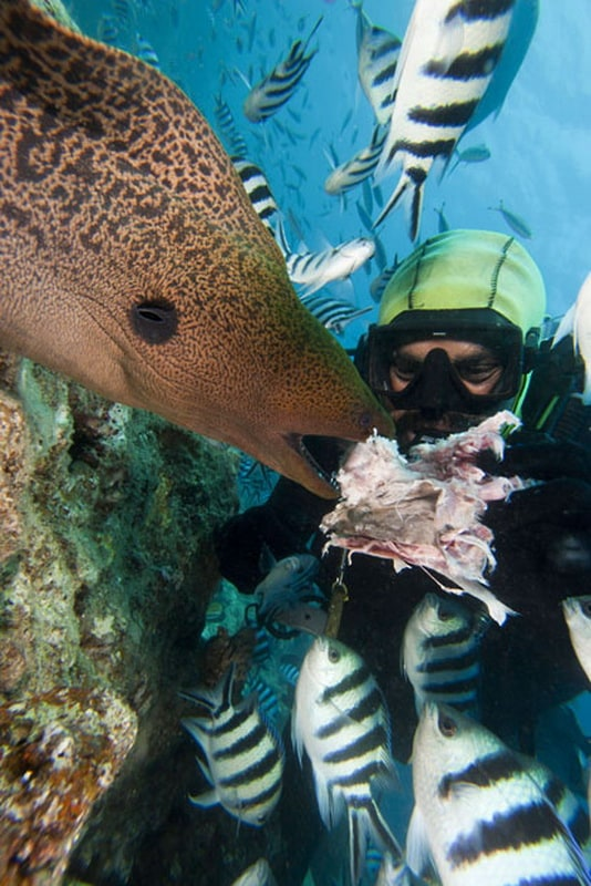 A diver feeds a Giant Moray Eel (Gymnothorax javanicus), Bequ Lagoon, Fiji. (David Fleetham/Bluegreen / Rex Features)
