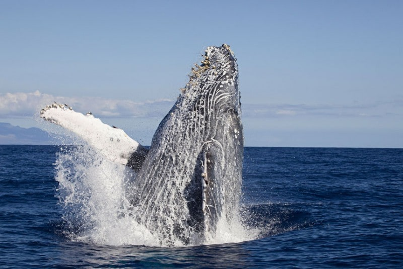 A breaching Humpback Whale (Megaptera novaeangliae), Hawaii. (David Fleetham/Bluegreen / Rex Features)