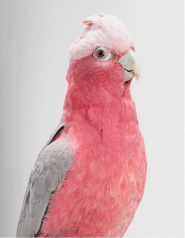 Cockatoo Portraits by Leila Jeffreys -portraits, photographer, australia