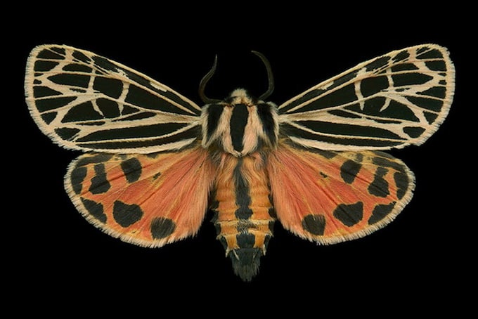 Parthenice Tiger Moth (8196 - Grammia parthenice)