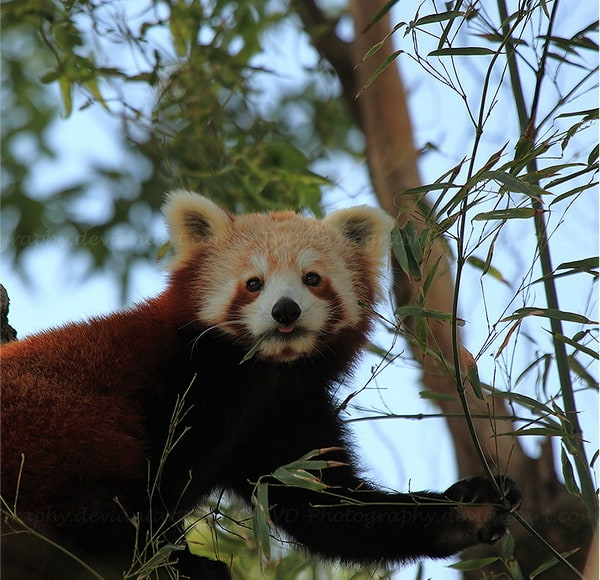 Red-Panda-Profile-2by-Dani