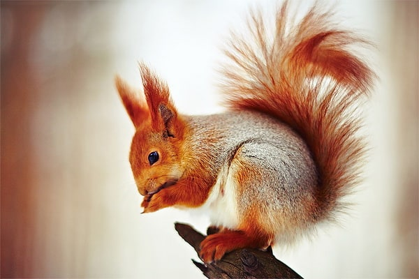squirrel_by_Vurtov