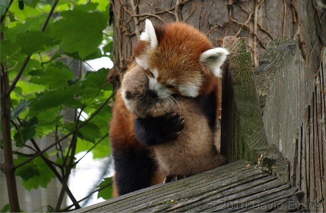 How to Pick Up a Baby Red Panda in 5 Steps -zoo, cute