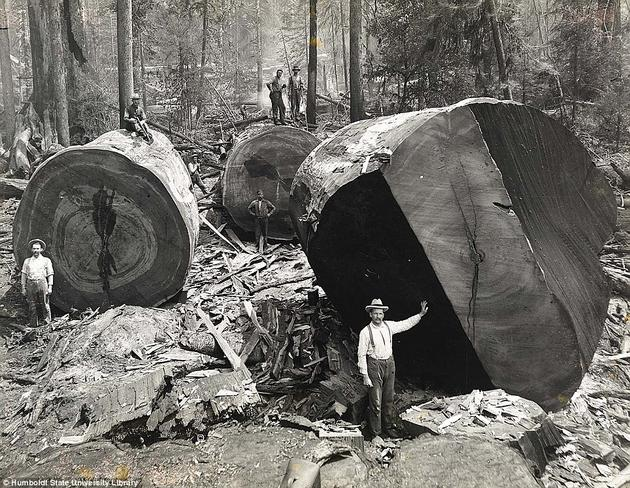 Lumberjacks in California