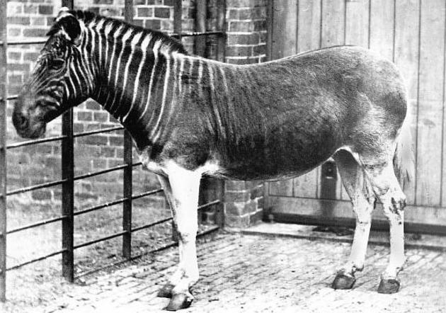 Now Extinct Quagga
