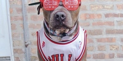 Meet Chango: The Swaggiest And Most Handsome Pit Bull On Instagram