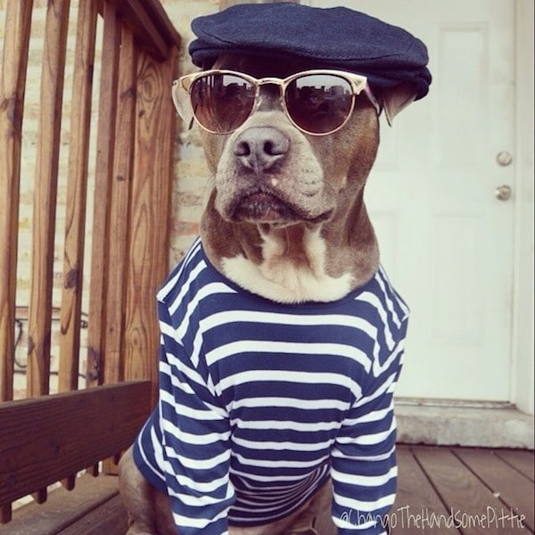 Meet Chango: The Swaggiest And Most Handsome Pit Bull On Instagram -