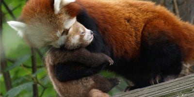 How to Pick Up a Baby Red Panda in 5 Steps