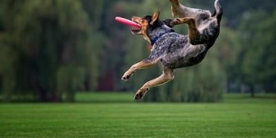 Funny Pics of Flying Dogs Catching Frisbees