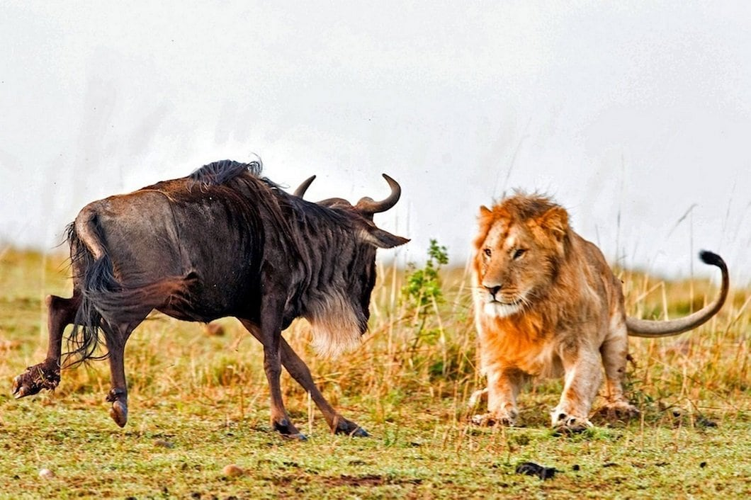 Dramatic Photos Of Lion Hunt A Wildebeest -wild nature
