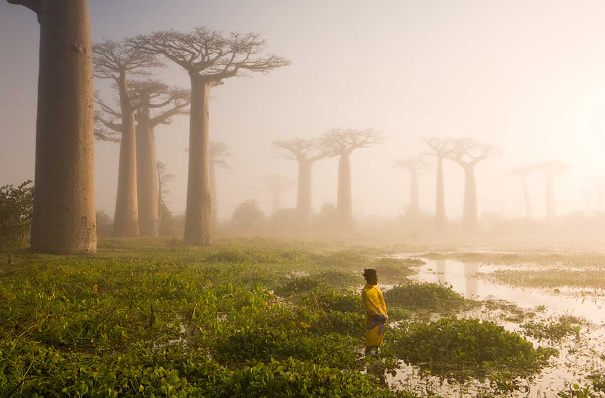 Baobob Trees In Madagascar