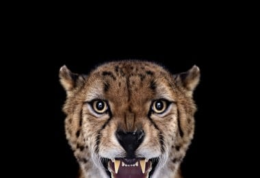 Amazing Studio Portraits of Wild Animals by Brad Wilson 1