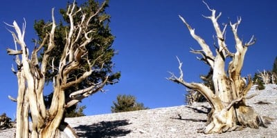 The Oldest Tree On The Planet, and It Calls California Home