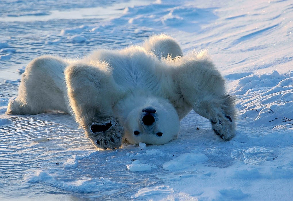 Polar Bear Waking Up, Churchill, Manitoba, Canada