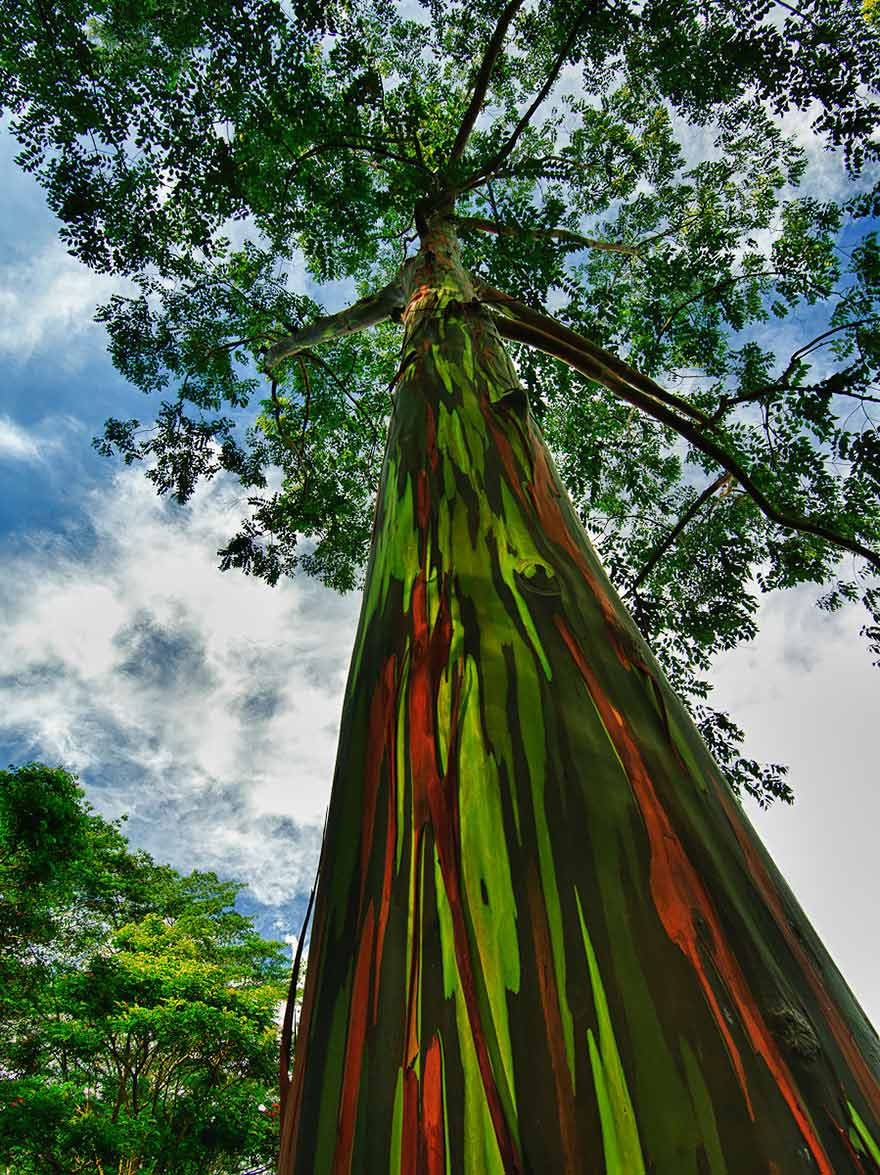 The-Rainbow-Eucalyptus-Kauai