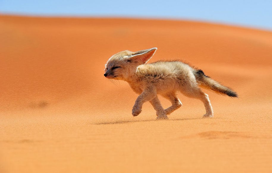beautiful-foxes-wildlife-photography-1