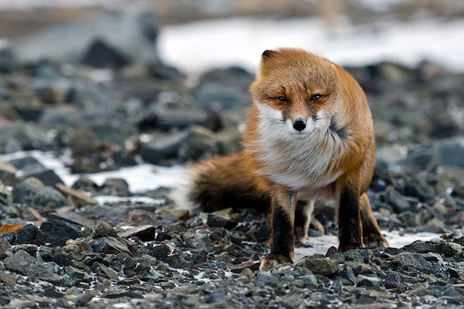 beautiful-foxes-wildlife-photography-15