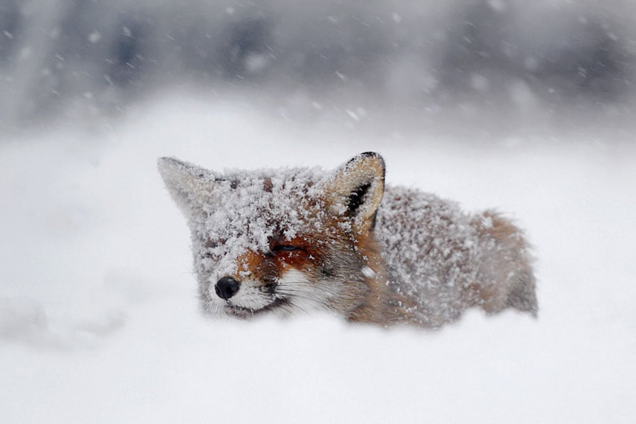 beautiful-foxes-wildlife-photography-16