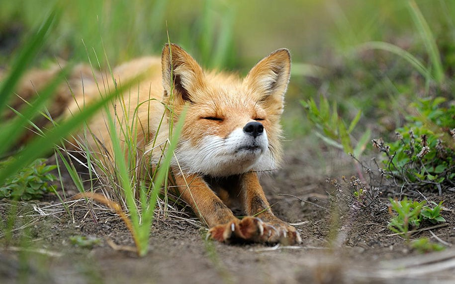 beautiful-foxes-wildlife-photography-18