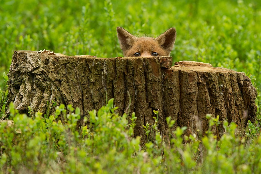 beautiful-foxes-wildlife-photography-19