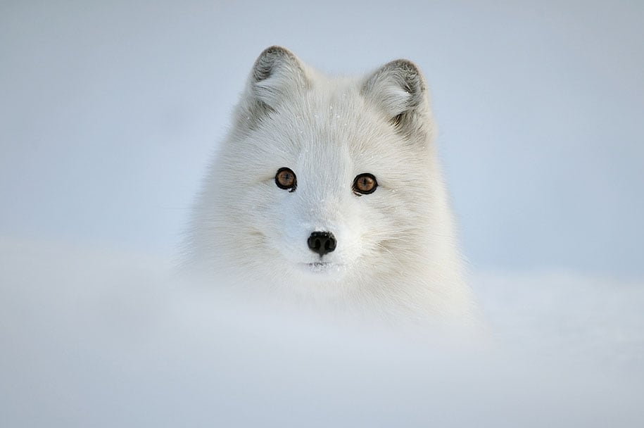 beautiful-foxes-wildlife-photography-21