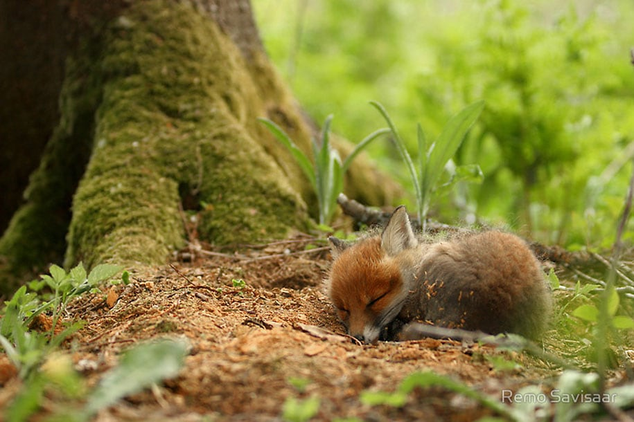 beautiful-foxes-wildlife-photography-22