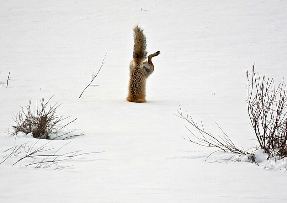 beautiful-foxes-wildlife-photography-3