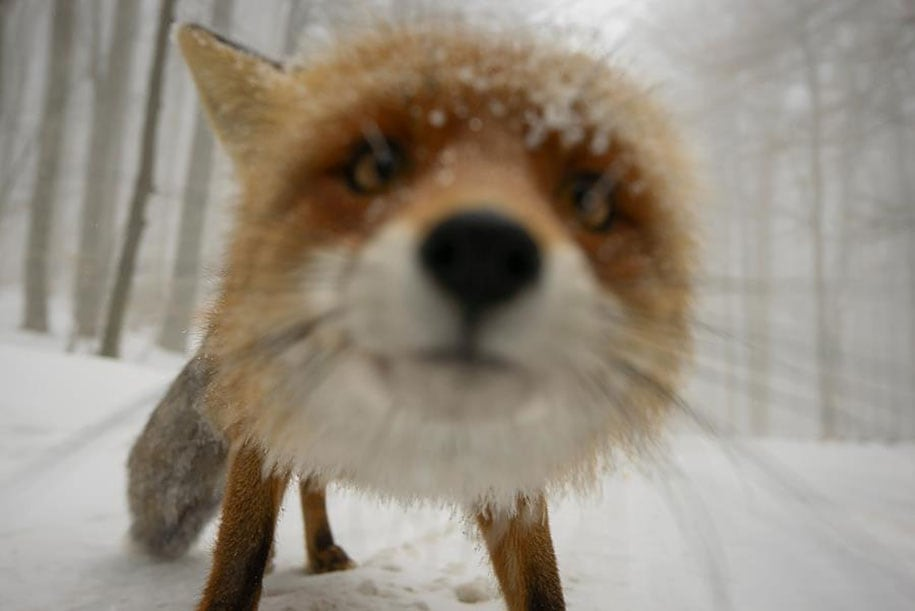 beautiful-foxes-wildlife-photography-6
