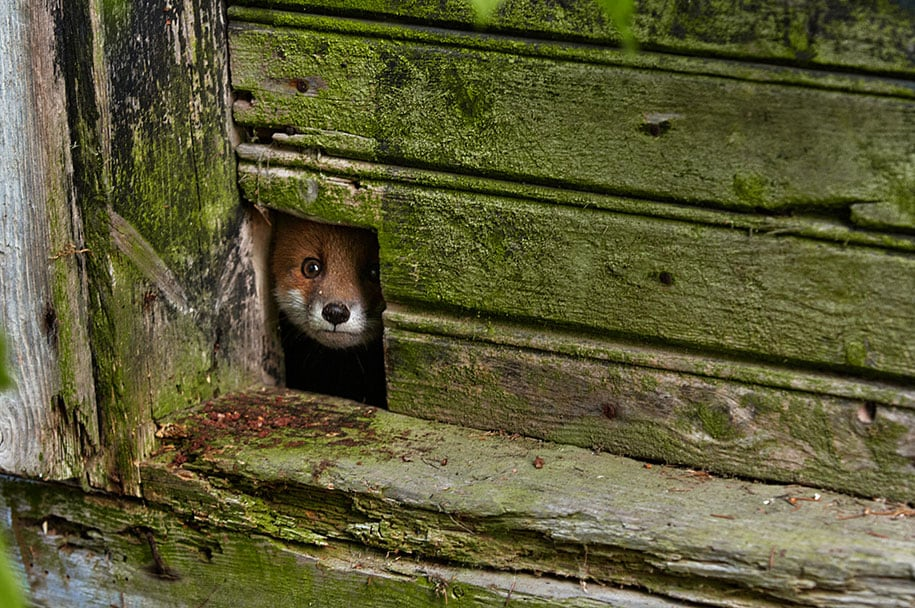 beautiful-foxes-wildlife-photography-8