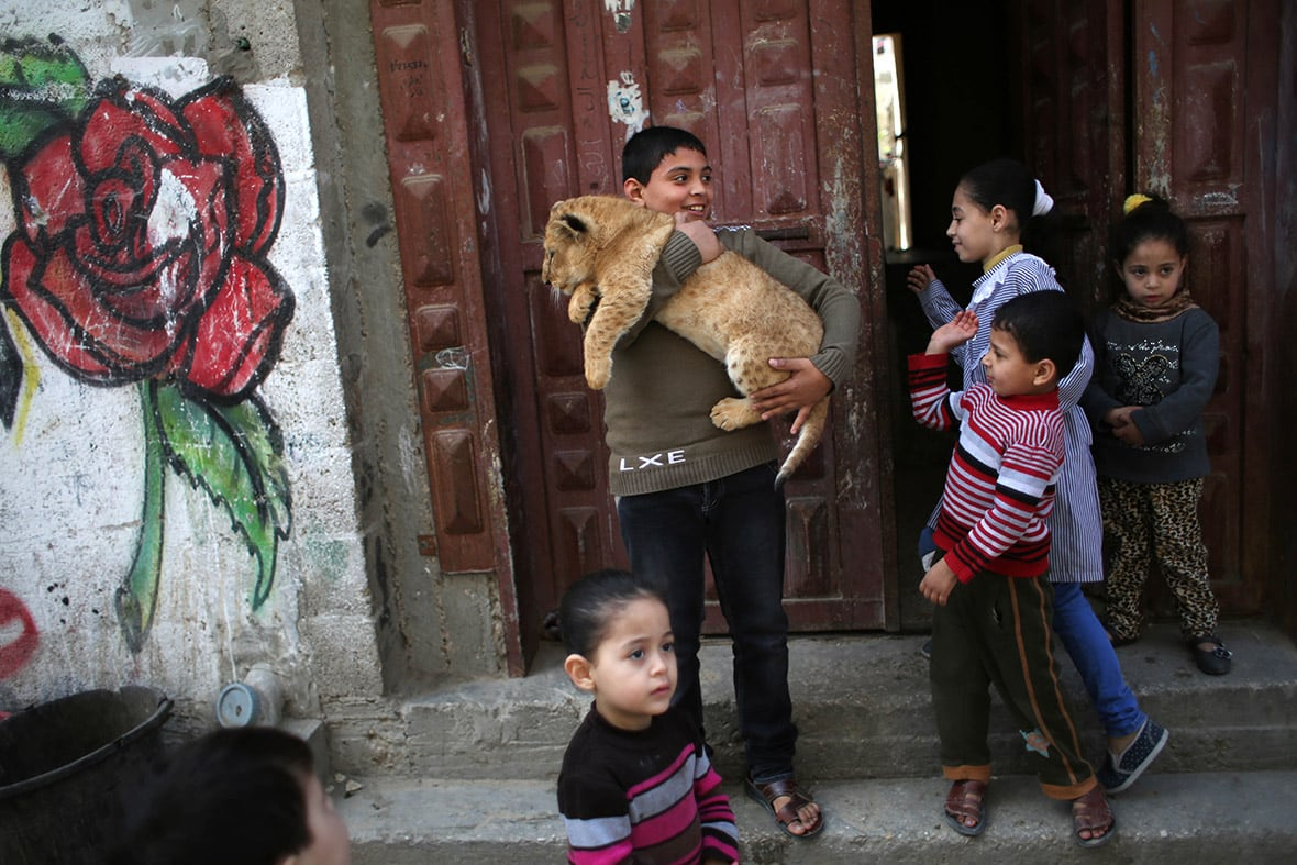 Lion Cubs Turn Into Stars Of Gaza Family -animals