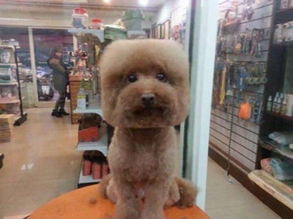 A Bizzare New Trend In Taiwan: Perfectly Round Or Square Haircuts For Dogs -dogs, animals