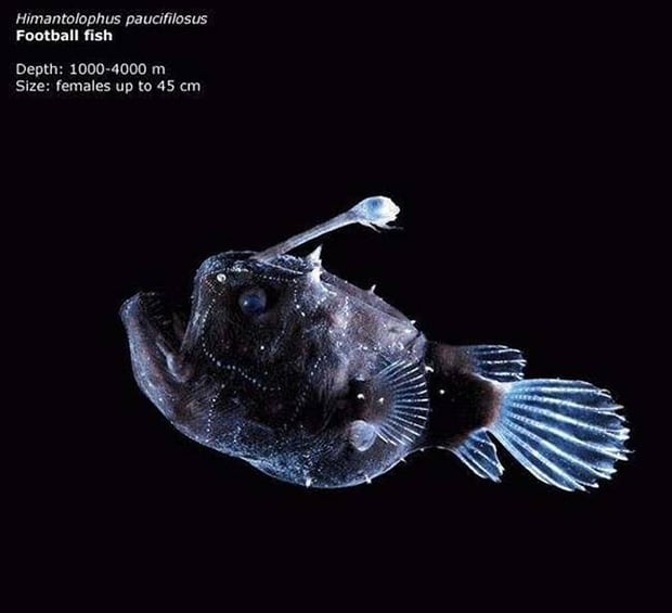 The football fish. Its eye looks almost human in this photo.