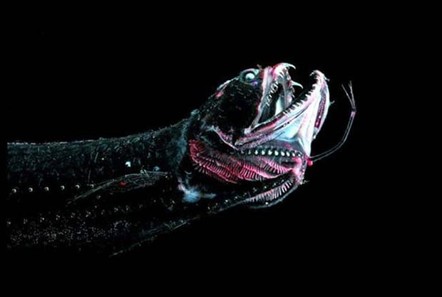 Dragon Fish. Just another of many fish that seem to have glow in the dark effects.